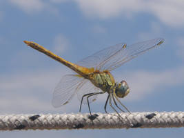 Dragonfly - Stock by SerenaDream