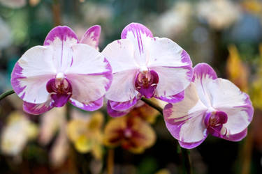 Three White Orchids by Vironevaeh