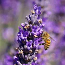 Bee at the Lavender Farm by Vironevaeh
