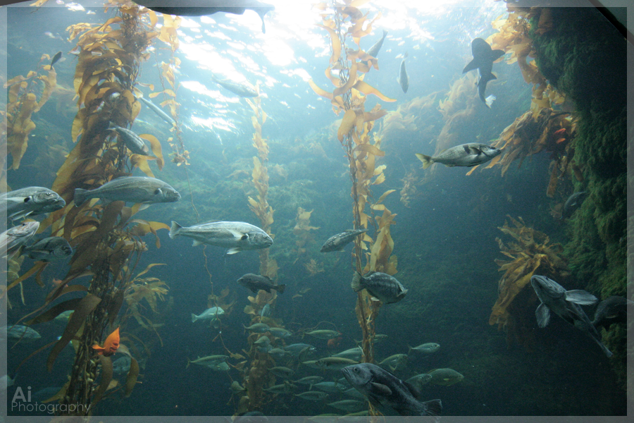 kelp forest wallpaper kelp forest by aiphotography on deviantart 322