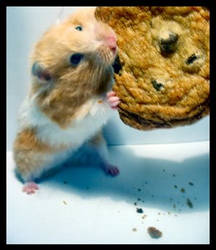 If You Give A Hamster A Cookie