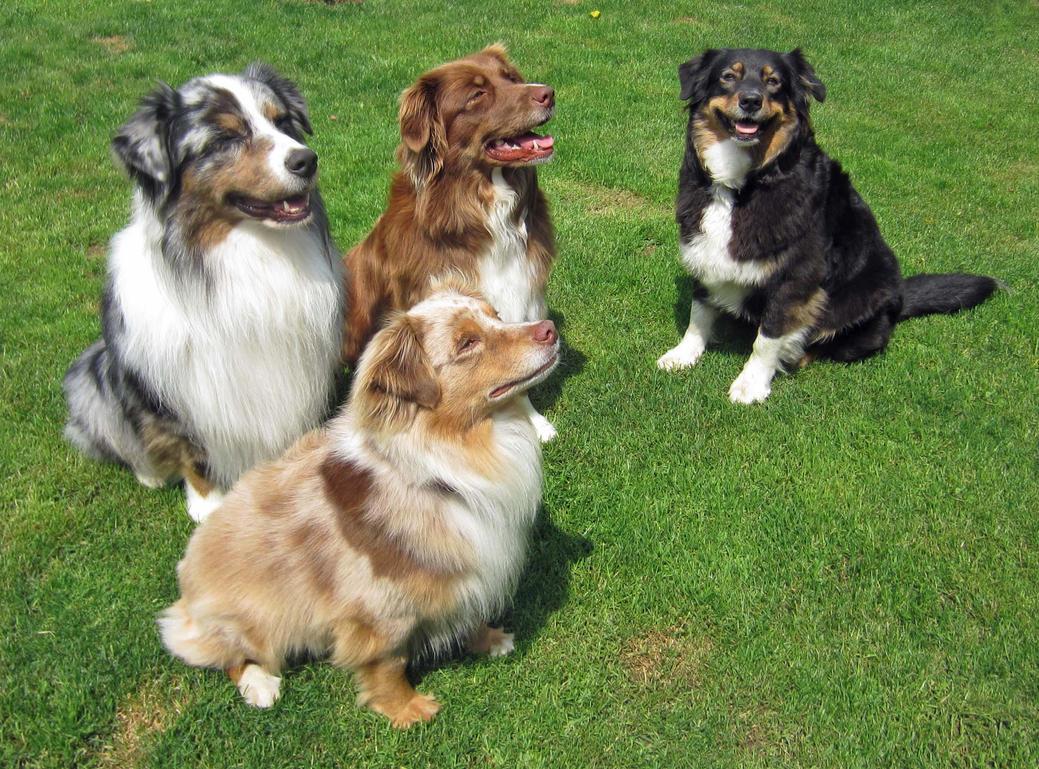 Australian Shepherd Show Dogs