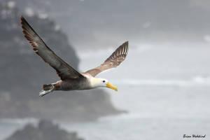 Galapagos Albatross by keeepr26