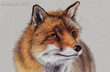 Curious Fox by elinkalo