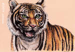 Surprised Tiger