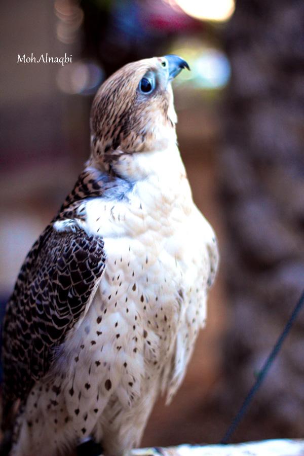 Falcon by aLwHm