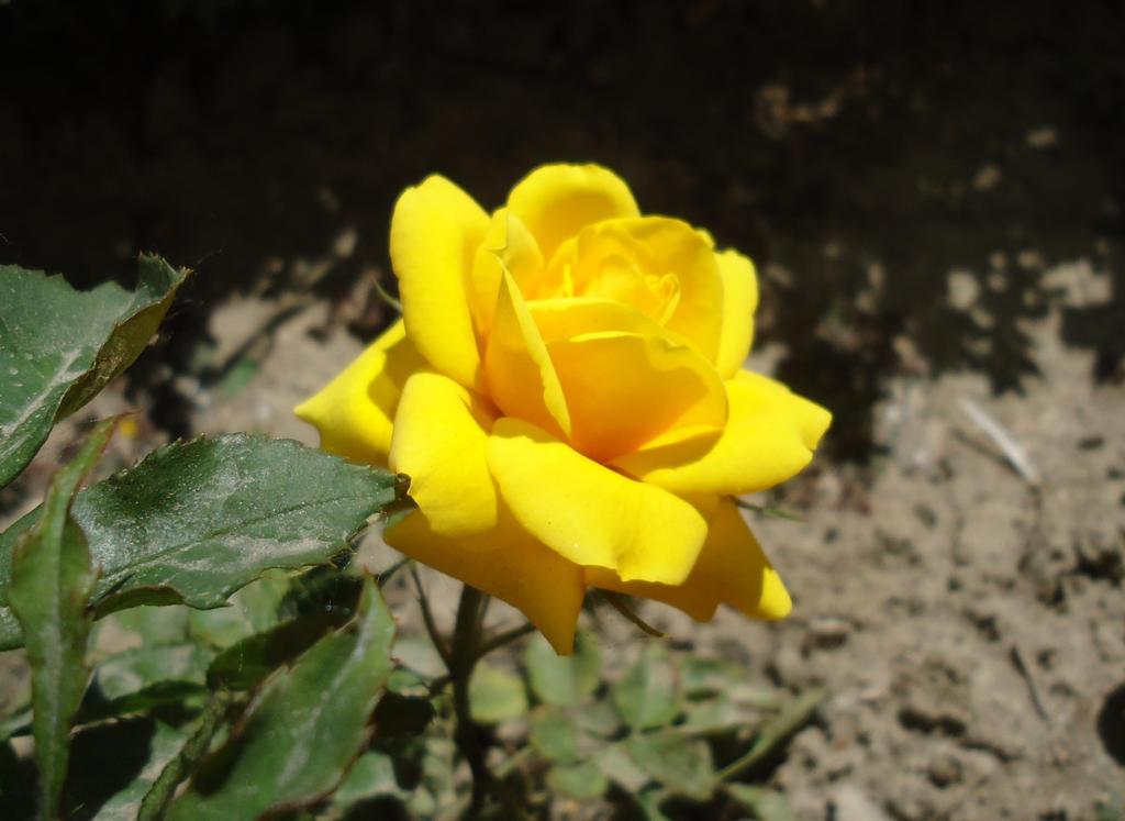 Tiny Rose by AlienOffspring