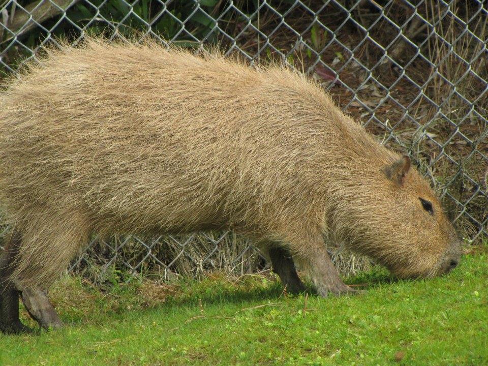 how to buy a capybara