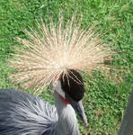 Feathery Crown