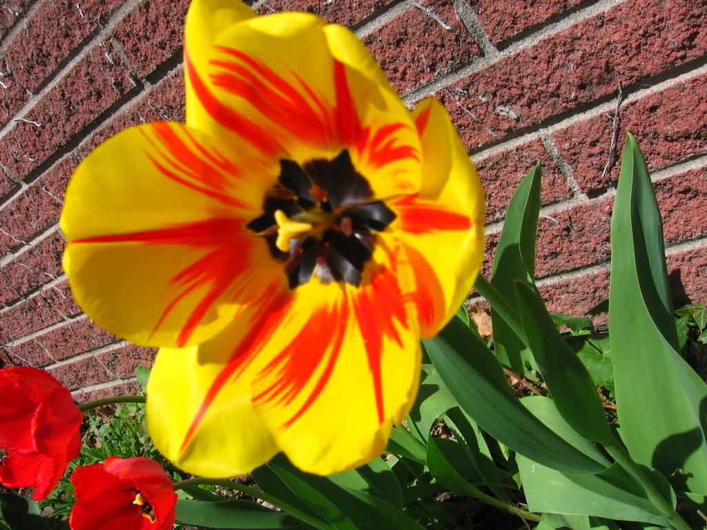 Yellow Tulip Wallpaper