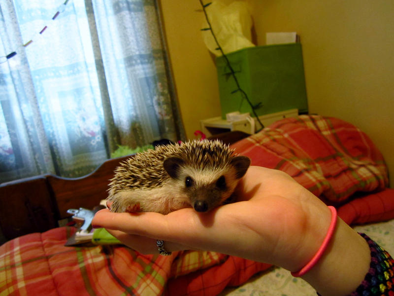A Hedgie In The Hand... by cadillacphunque