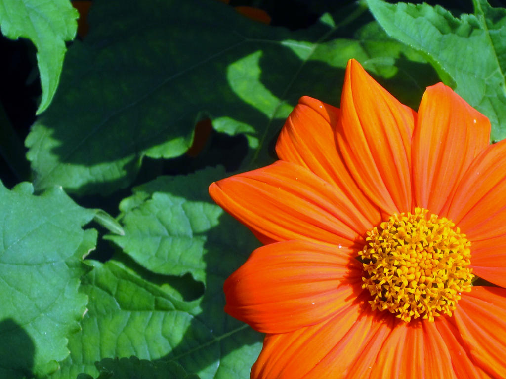 Orange Flower -Background by cadillacphunque