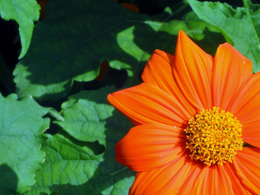 Orange Flower -Background by cadillacphunque