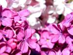 Odor of Spring