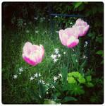 Happy Tulips