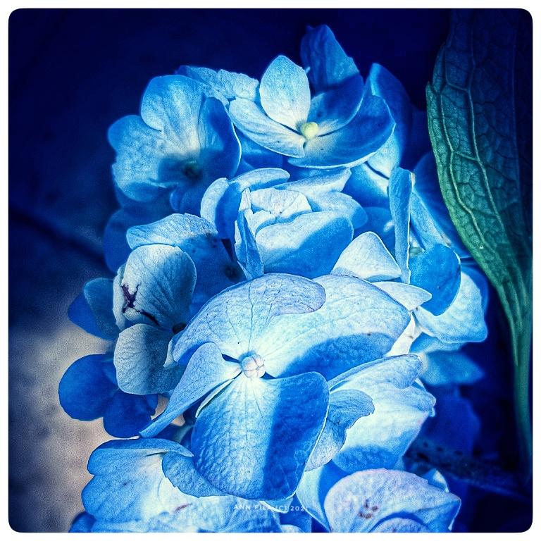 Hydrangea Is Feeling Blue