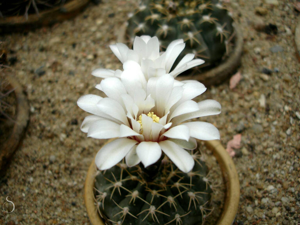 White Cactus Flower By Selenophiie On Deviantart