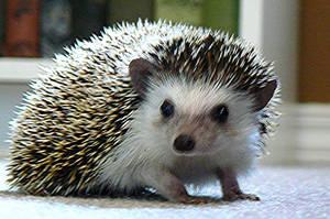 Ricci the Hedgehog by Ricci80