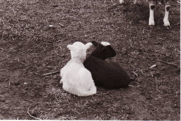 Racial lambs by madbesskidd2