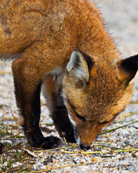 Fox Cub Close-Up