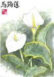 Calla Lillies by J-Rayner