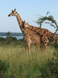 Giraffes by shastasnow
