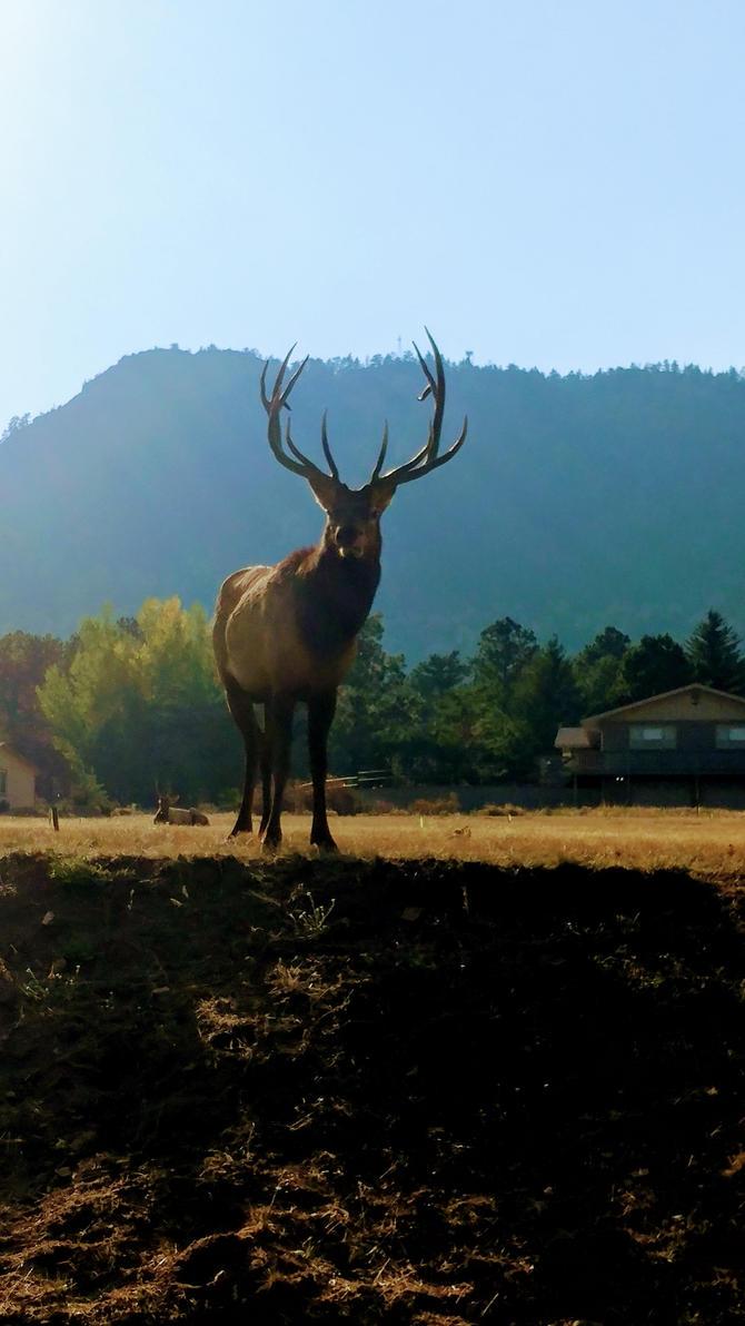 Elk by shastasnow
