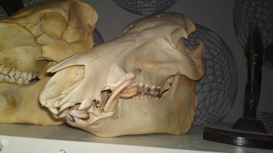 Wild Boar Skull by tha-baist on DeviantArt