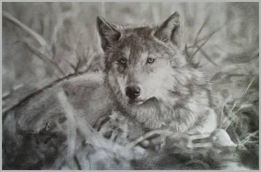 The gray wolf by kadiliis