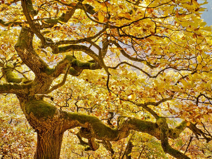 Dancing oak dryad - fall yellow by zeitspuren