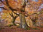 Ancient beech trees in fall, 'Hutewald Halloh by zeitspuren