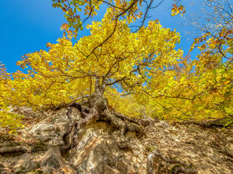 Gnarly oak with mighty roots, yellow foliage by zeitspuren