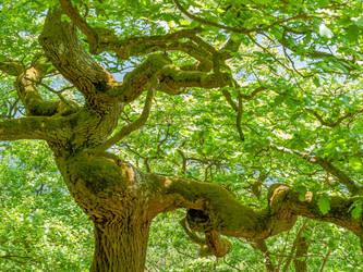 Dancing oak dryad, May green - Tanzende Eiche by zeitspuren
