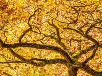 Oak branches with golden autumn foliage by zeitspuren