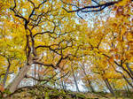 Yellow oaks on the Lindenberg ridge by zeitspuren