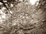 Oak tree in morning mist  #2 by zeitspuren