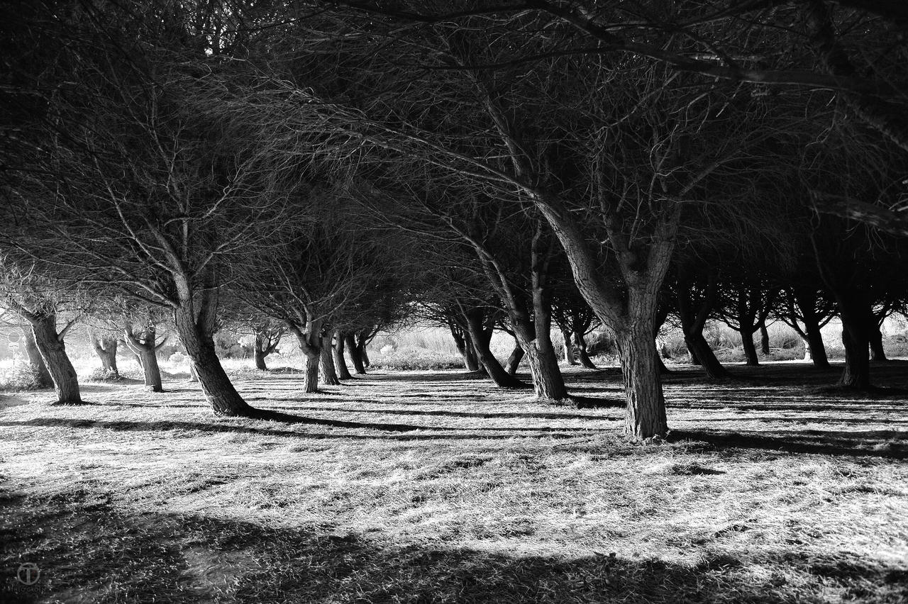 Black & White Trees 01 by theogroen