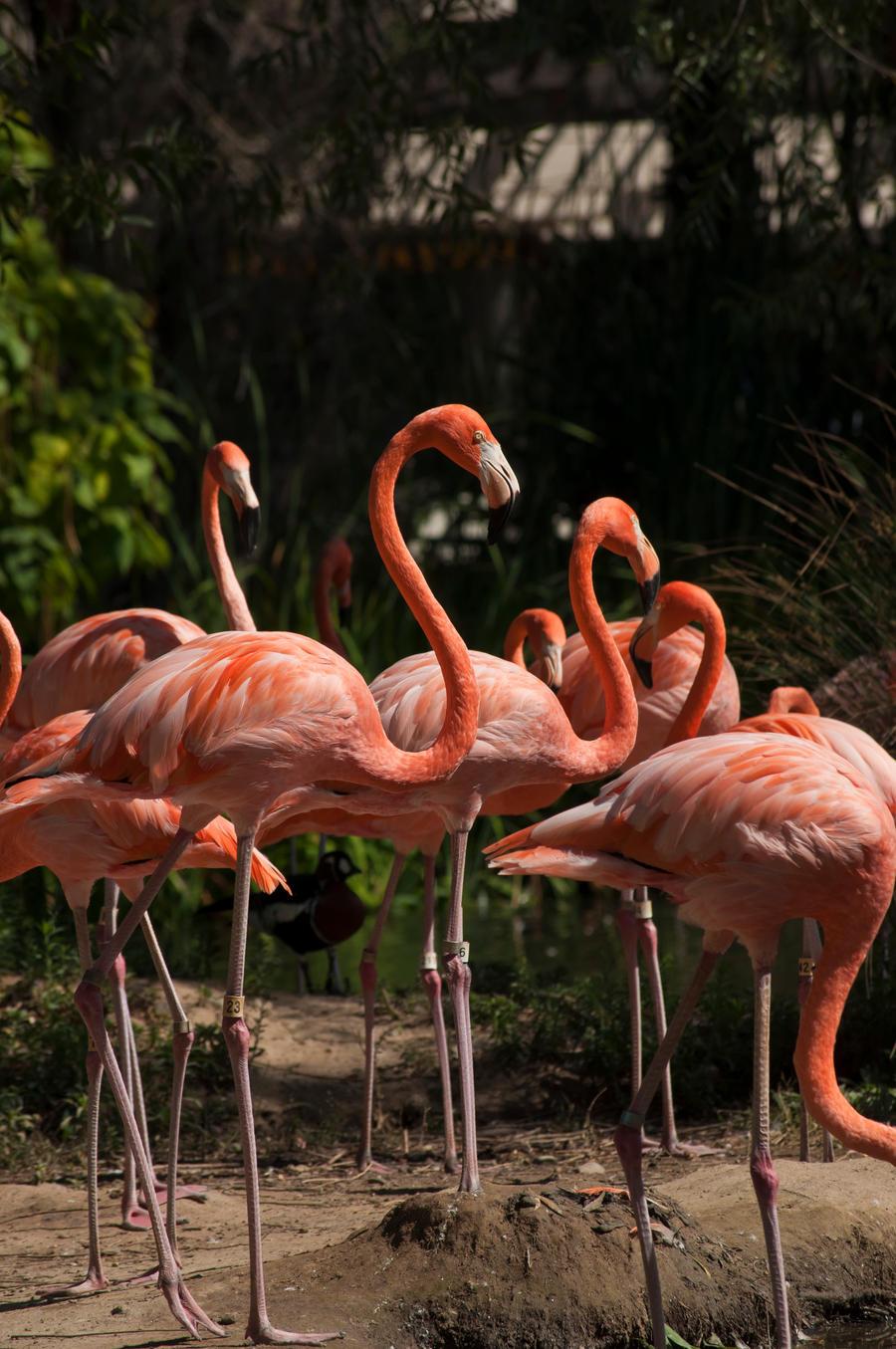 Flamingo's feeding by remyrob