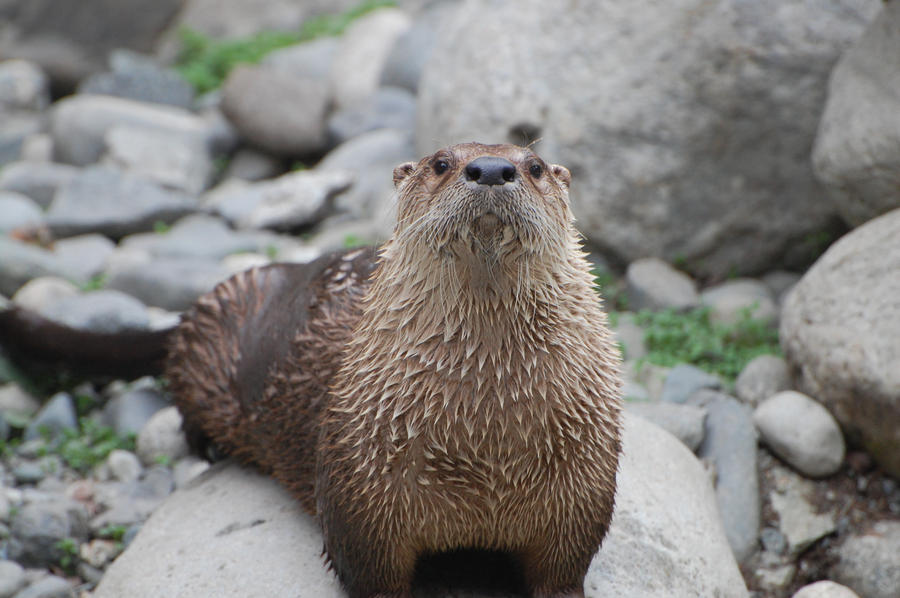 otter rock chat Otters appear clumsy when navigating on dry land  dens are typically located  near waterways under tree roots, rock piles, logs or thickets, sometimes they will  take over beaver lodges or muskrat dens after  flag status: full staff live chat.