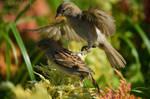 Sparrow Squabble