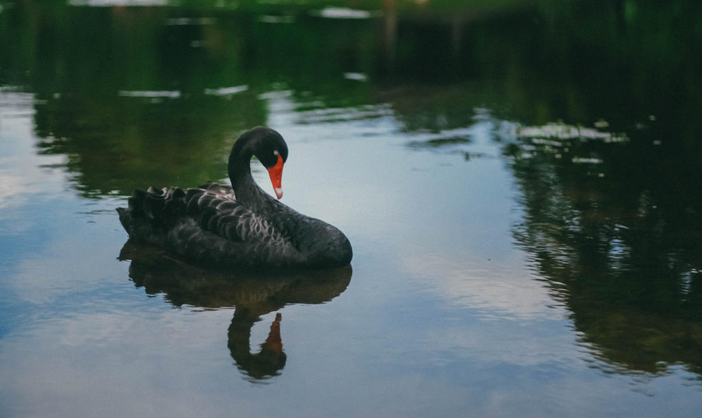 Swan by slumberbreeze
