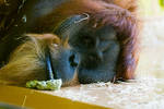 Orang-Utan / Monkey