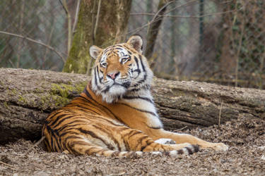 Tiger by Fotostyle-Schindler