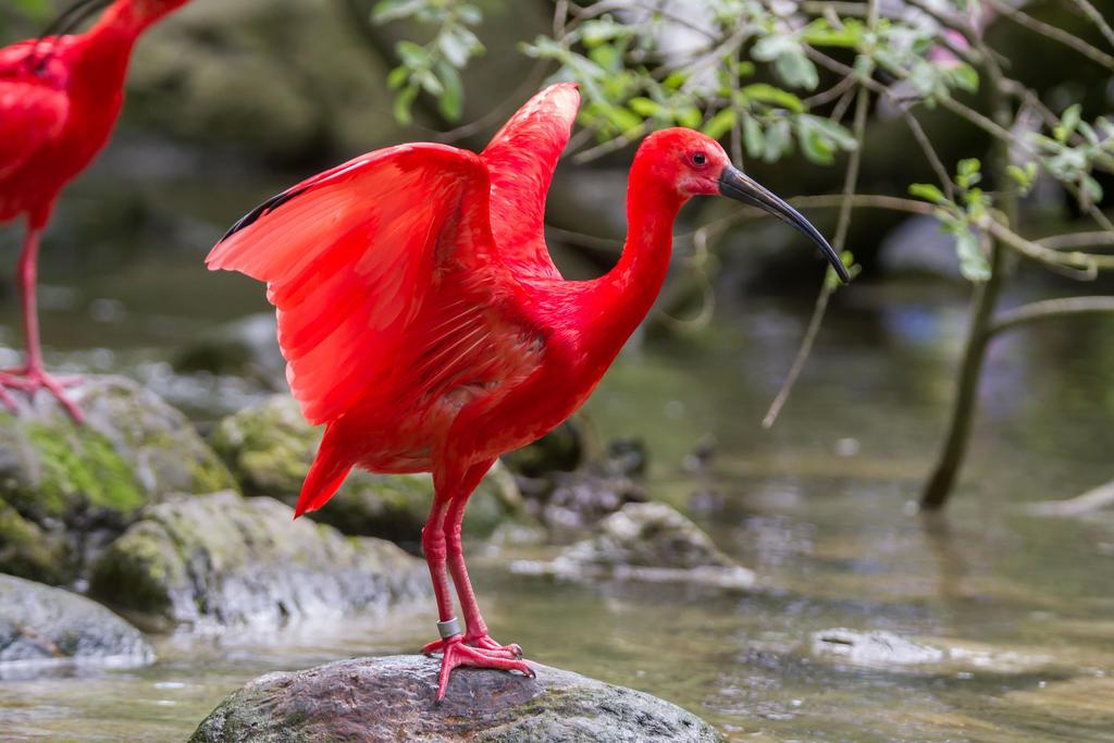 Aninimal Book: Red Ibis Bird by Fotostyle-Schindler on DeviantArt