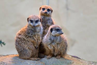 Meerkat by Fotostyle-Schindler