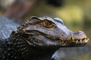 Alligator by Fotostyle-Schindler