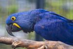 Blue Ara / Parrot