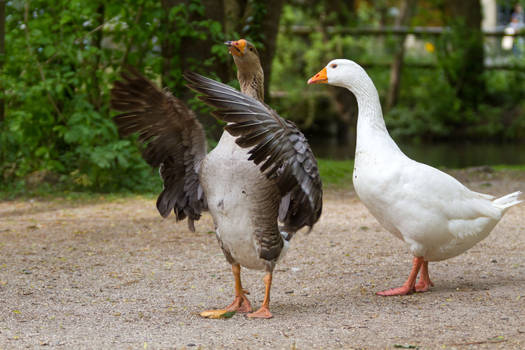 Goose by Fotostyle-Schindler