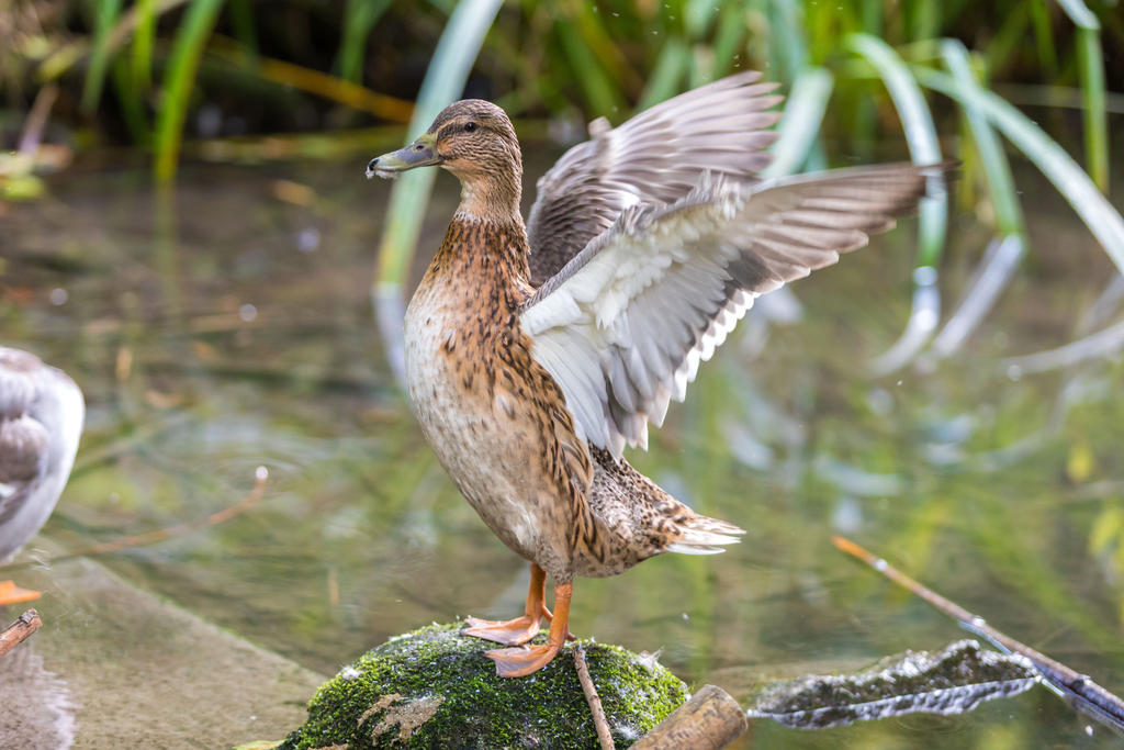 Duck by Fotostyle-Schindler