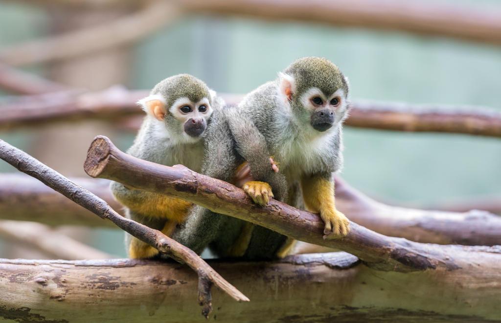 Squirrel Monkey by Fotostyle-Schindler